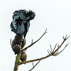 Raven grooming 2