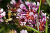 "4-28-2017:  Bombus melanopygus - ""Black-tailed Bumble Bee"" trips the Trifolium wildenovii to get pollen by HandsOff"