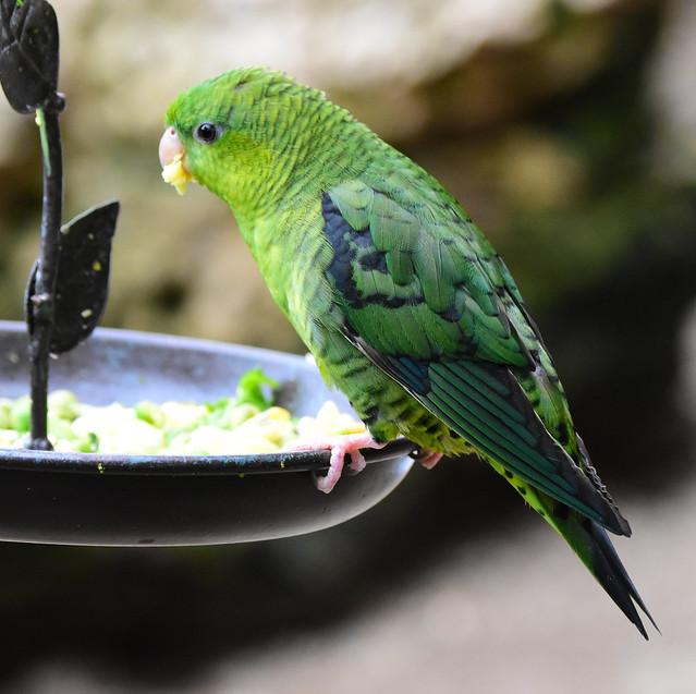 Lineolated Parakeet (Bolborhynchus lineola)