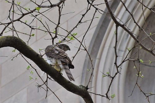 Cooper's Hawk at the University of Chicago