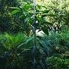 My avocado  tree is growing! I started it from a seed! Charlie replanted in the Nursery and it's really taking off now!!