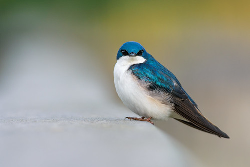 treeswallow portrait johnheinznwr wildlife nature heinz bird tachycinetabicolor swallow philadelphia pennsylvania unitedstates us