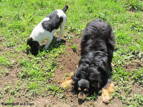 (27-7) The Mole Patrol is back on the job! - FarmgirlFare.com