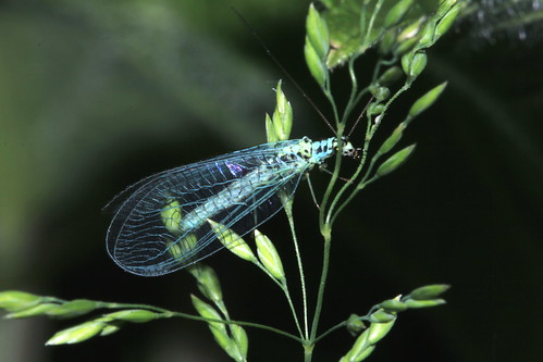 Blue lacewing 16762