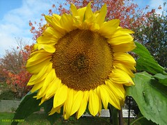 sunflower1566