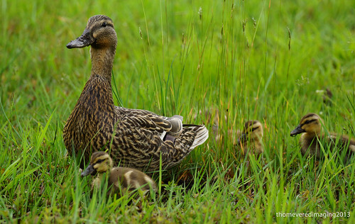 Mallard Family by thomevered