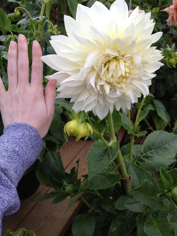 giant dahlia!