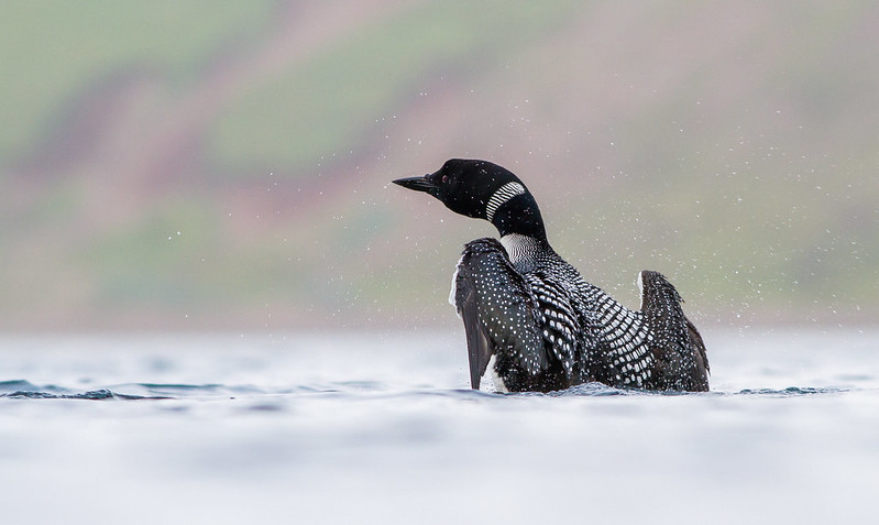 Himbrimi - Great Northern Diver - Gavia immer