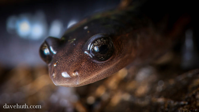 Red-legged Salamander (Plethodon shermani) - closeup portrait