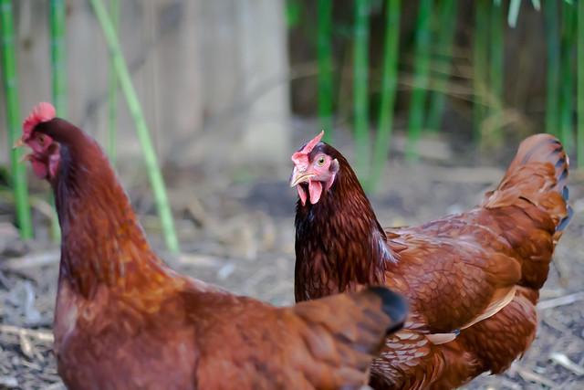 Mature rhode island red hen what necessary