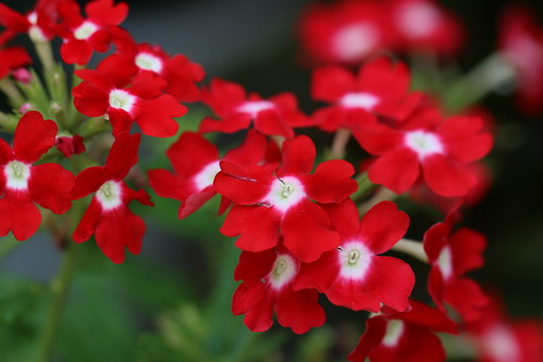 red lively flower Canon EOS 70D