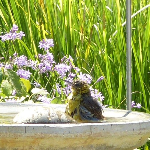 Hooded Oriole at the bird bath
