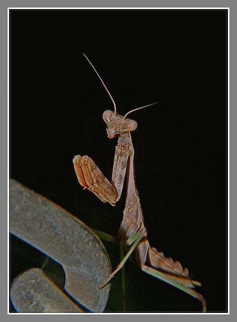 小螳螂_图1-7