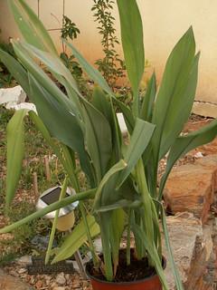 Curcuma alismatifolia