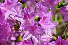 Purple/pink flowers