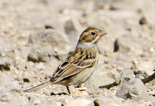 Santa Cruz Island: Clay-Colored Sparrow 1