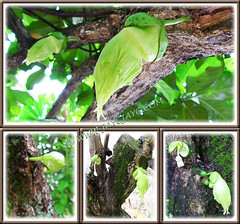 Flower buds of Crescentia cujete (Calabash Tree) emerged on trunks and branches - 3 Oct 2013