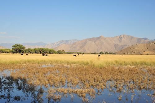 california cows kern pasture highdesert kernville