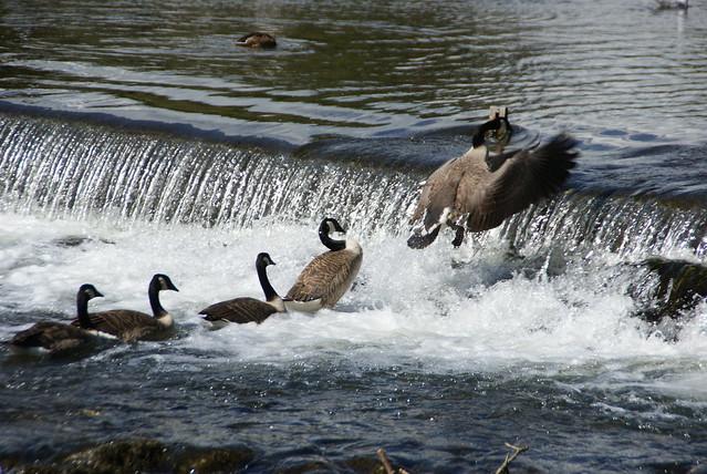 Canada Geese Weir Bakewell