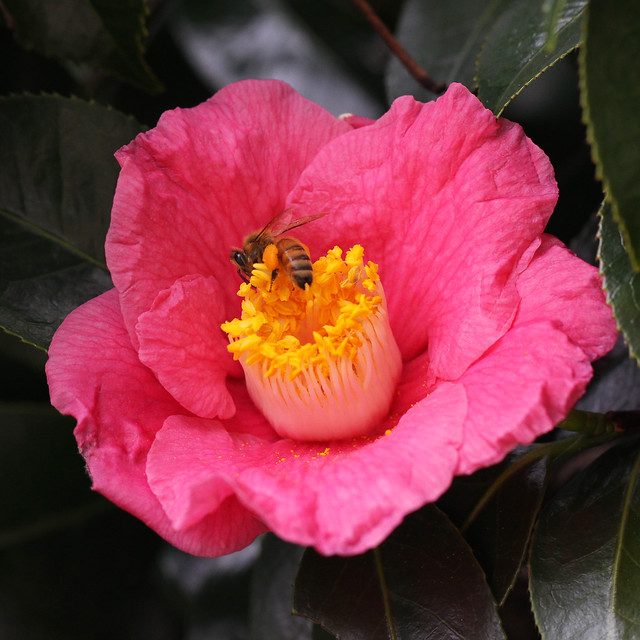 Thanksgiving week - sasanqua camelia & bee