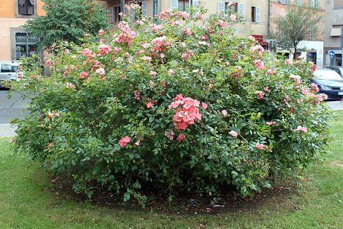 viterbo rose bush