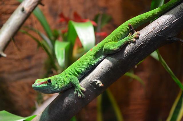 Biosphaere Potsdam gecko closeup