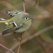 Ruby-crowned kinglet by geno k