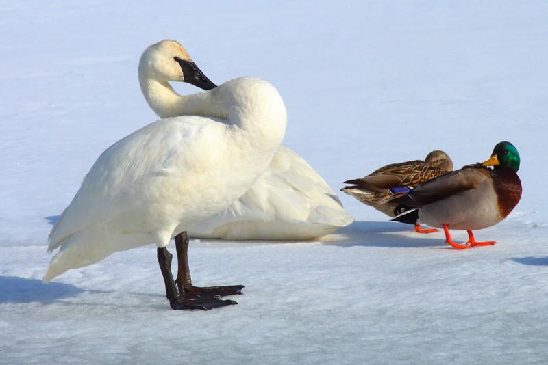 IMG_1090 Trumpeter Swan