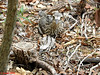 028  Bush stone Curlew Chick and mother by Jen 64