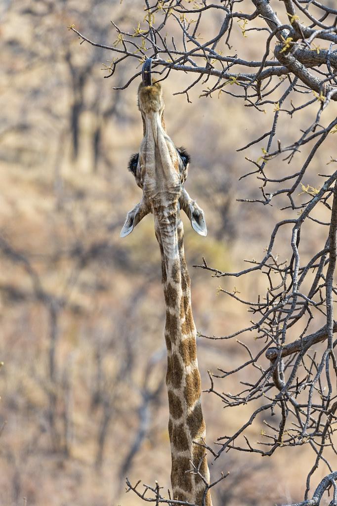 Jirafa en el Parque Nacional Pilanesberg. Sudáfrica.
