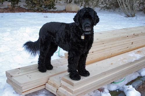 skippy on my new garden lumber 034