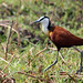 Small photo of African jacana actophilornis africanus