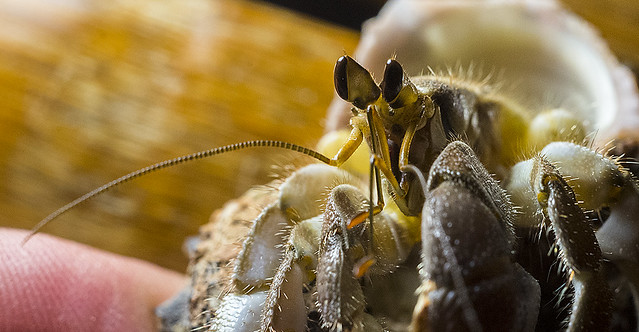 gary.schafer.hermit crab.philippines
