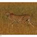Cheetah-Walking