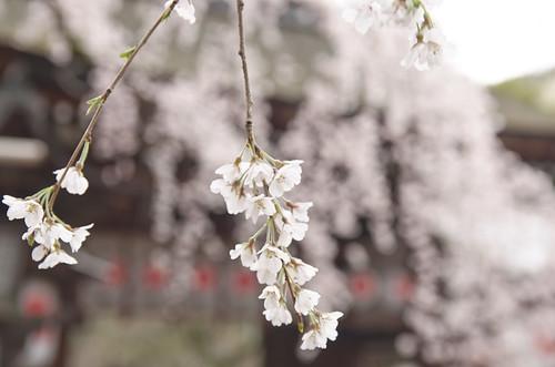 【写真】2014 桜 : 平野神社/2020-06-29/IMGP5558