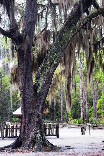 Chesser Homestead Tree