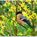 Bullfinch in Forsythia! by macfudge1UK