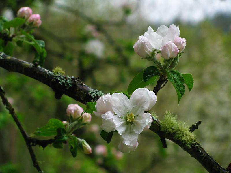 Gravenstein Apple Blossoms in the Rain
