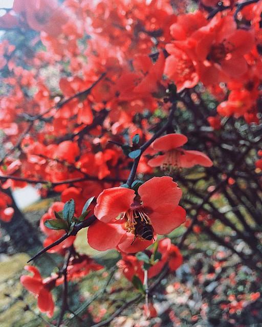 #��#��#海棠#铁梗海棠#蜜蜂#bee#blossom#shanghai#上海#vscocam#flower#春#春天#spring#iphoneonly#竹园绿地