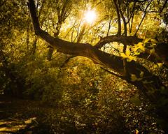 161009-sunrise tree trunk leaves forest.jpg