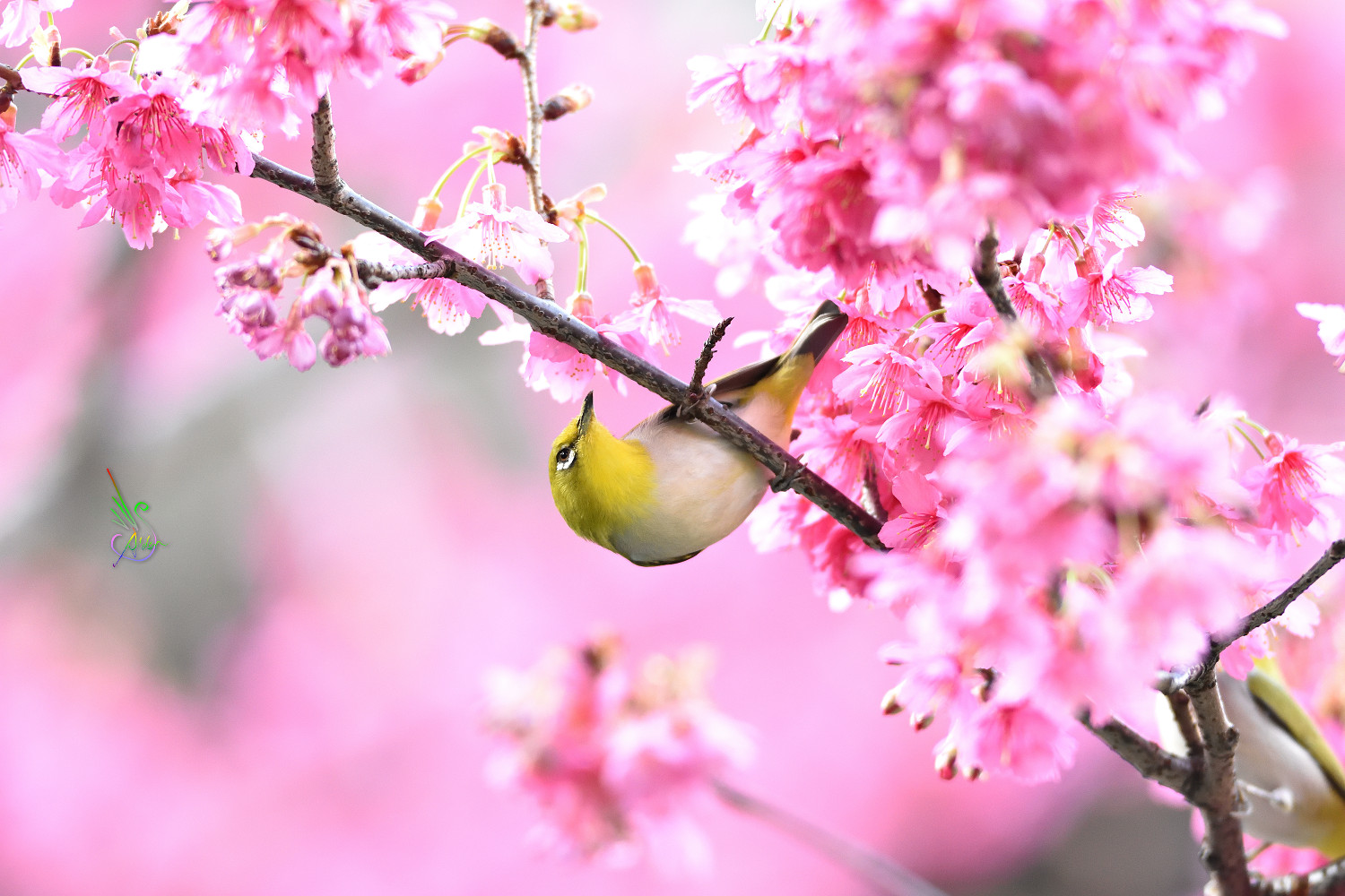 Sakura_White-eye_8088