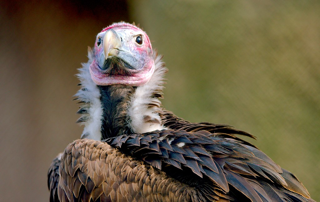 Lappet Faced Vulture_5