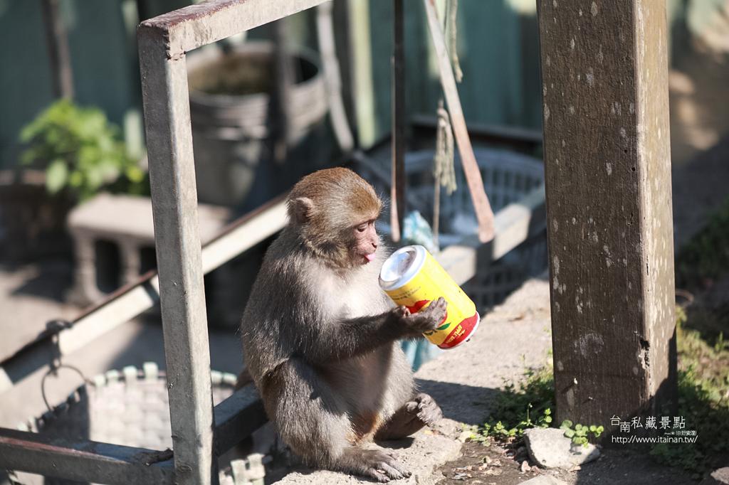 台灣獼猴 (27)