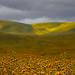Fiddlenecks at Carrizo Plain by Jeffrey Sullivan