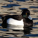 Tufted Duck (Charles McMaster)