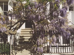 Kensington has the best wisteria. Fact.  #wisteriahysteria