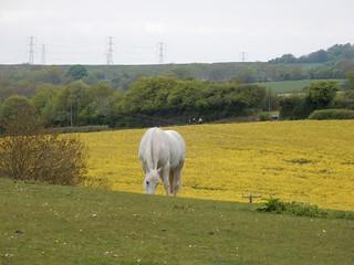 White horse, yellow field