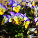 FLOR PENSAMIENTOS. FLOWER PANSY-THOUGHTS. NEW YORK CITY.