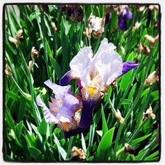 I am alive and there are irises.  Bonus.