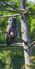 Great Grey Owl - Skansen
